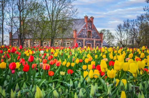 Tulpių žydėjimo šventės nebus, bet Burbiškio dvare tulpės žydi. Vienos gražiausių Radviliškio rajono vietų atvėrę duris kviečia lankytojus