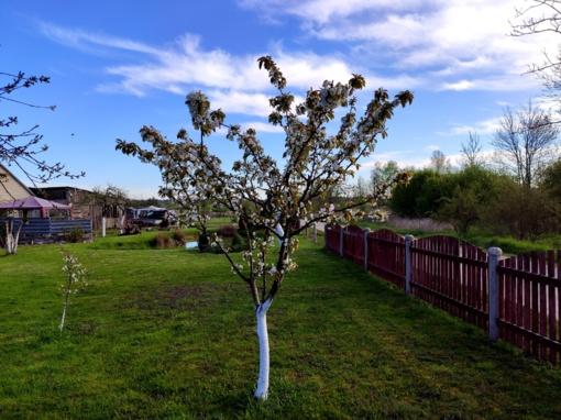 Skuodo gyventojus džiugina pavasario žiedai (nuotraukų galerija)