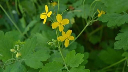 Vaistininkas: laukiniai augalai – kurie naudingi sveikatai, o kurių geriau nerinkti?