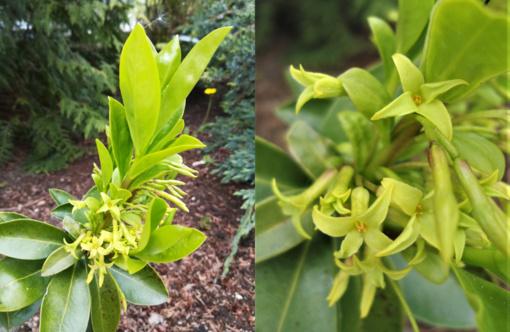 Botanikos sode pražydo gana retas mūsų kraštų augalas – pontinis žalčialunkis