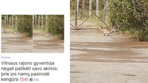 Ne, prie Vilniaus nesibasto pabėgusi kengūra