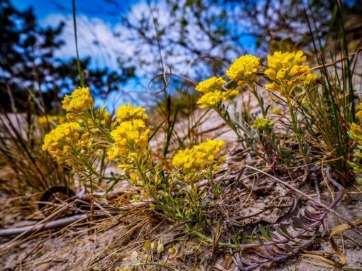 Pajūryje pražydo dar vienas retas augalas