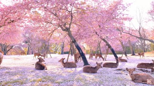 Koks grožis: dėl pandemijos ištuštėjusiame sakurų parke elniai mėgavosi ramybe (vaizdo įrašas)