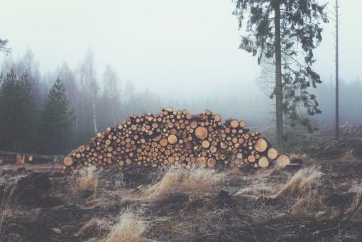 Raseinių rajono girininkijoje iškirsta ir pavogta daugiau nei pusšimtis medžių