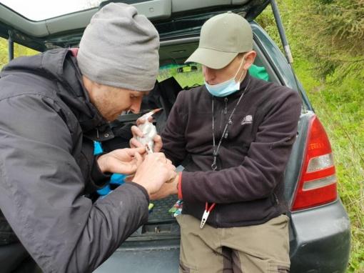 Nemuno salose šalia Prienų upinėms žuvėdroms uždėti pirmieji GPS siųstuvėliai