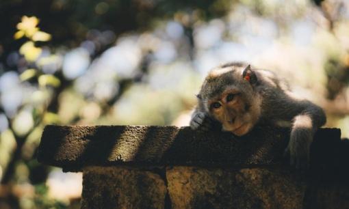Indijoje beždžionės nugvelbė galimai koronavirusu užsikrėtusių žmonių kraujo mėginius