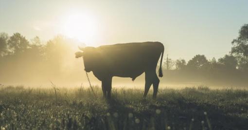 Kėdainių rajone iš ganyklos dingo dvi karvės