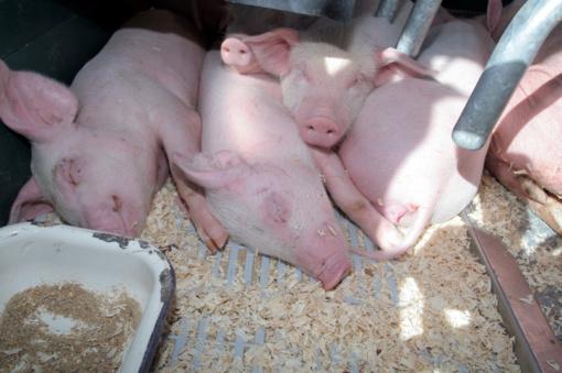 Utenos rajone vėl auginamos kiaulės