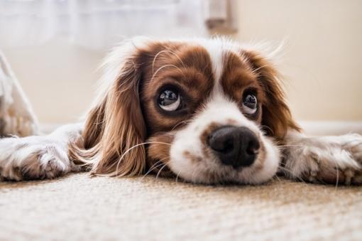 25 daugiausiai sveikatos problemų turinčių šunų veislės