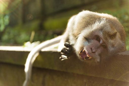 Nuo gyvūnų nukentėję Ukmergės rajono gyventojai: įkando beždžionė, užpuolė šikšnosparnis