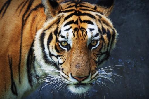 Kalvarijos zoologijos sodo direktorei tigras nukando pirštą