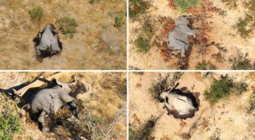 Afriką sukrėtė masinė 365 dramblių žūtis: priežastys mįslingos (vaizdo įrašas)