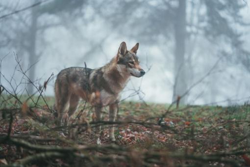 Vilko ir šuns hibridė Luna greitai pasieks naujus namus Vokietijoje