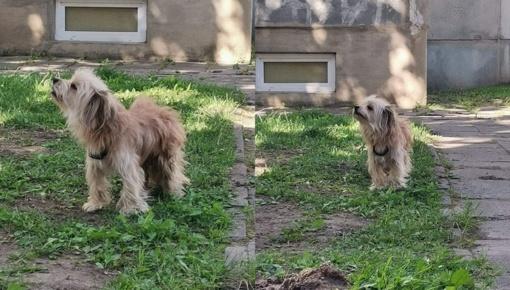 Mažeikiuose blaškosi pasiklydęs šuo, ieškomi jo šeimininkai