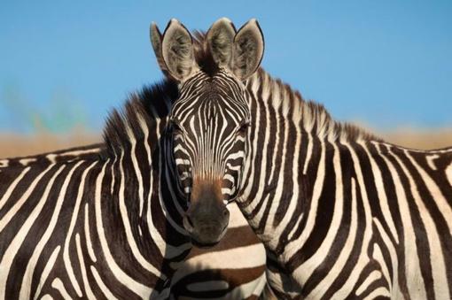 Iššūkis: kuris iš dvejų zebrų žiūri į fotoaparato kamerą?