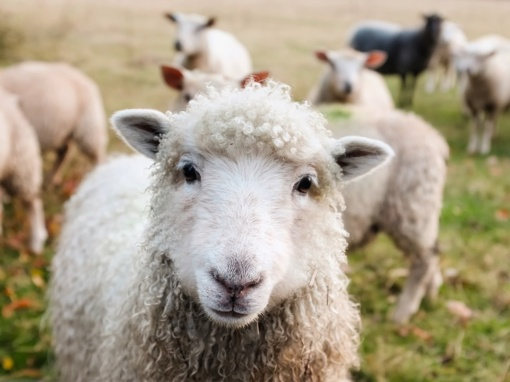 Pernai sumažėjo ekologiniuose ūkiuose auginamų gyvulių ir paukščių skaičius
