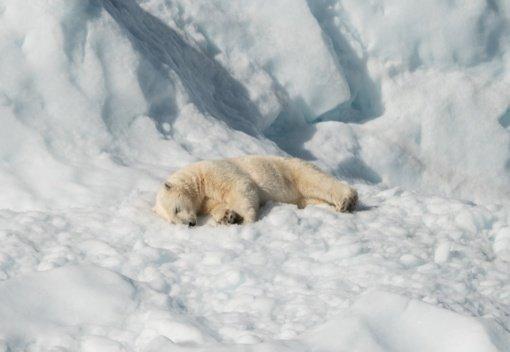 Dėl bado ir tirpstančio ledo baltieji lokiai išnyks greičiau nei manyta