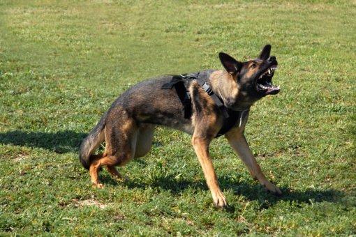 Šunims apkandžiojus būtina nedelsiant kreiptis į medikus dėl pasiutligės rizikos