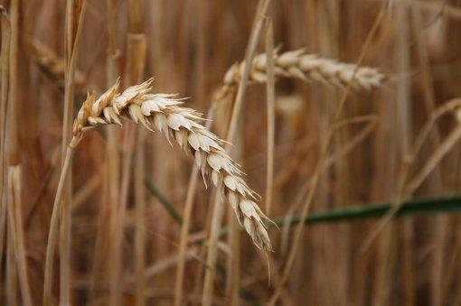 Grūdų augintojų asociacija: derlius šiemet bus apie 15 proc. didesnis