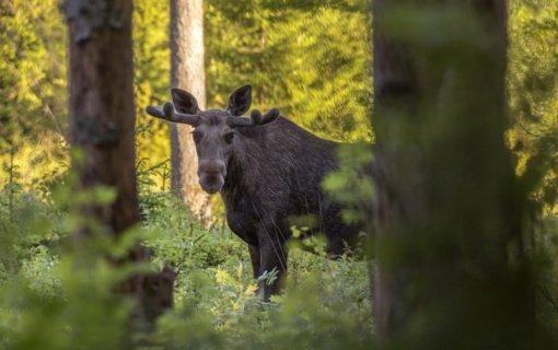 Rokiškio rajono medžiotojams surašyti protokolai dėl neteisėtai sumedžioto briedžio dorojimo ir gabenimo