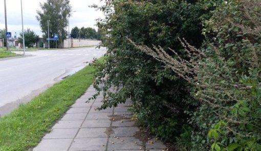 Nenugenėti želdiniai trukdo pėsčiųjų eismui, matomumui