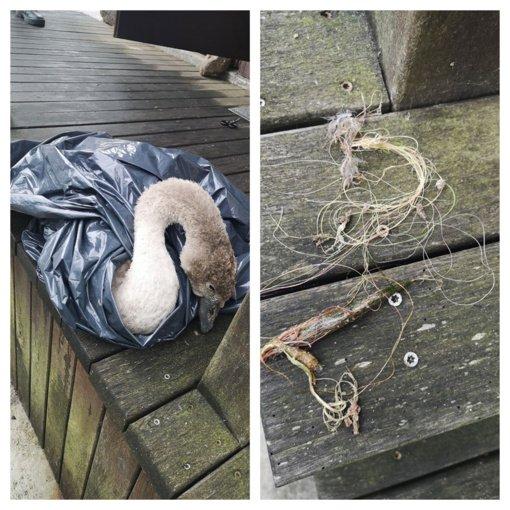Žvejų paliktas valas vos per plauką nepražudė gulbės jauniklio