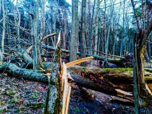 """Miškininkai sutvarkė audros """"Laura"""" nusiaubtus miškus"""