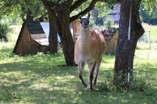 Savaitgalio pažintis su nuostabiais gyvūnais: pasakų žąsys, Vytauto Didžiojo arkliai, danieliai ir muflonai