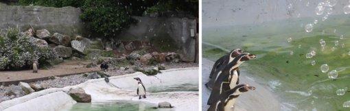 Nuobodžiaujančius pingvinus pradžiugino  muilo burbulai