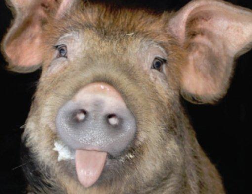 Pakišo kiaulę?