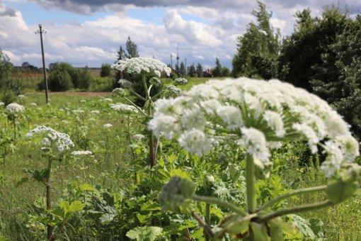 Aplinkos ministerija savivaldybėms skyrė daugiau nei 0,5 milijono eurų Sosnovskio barščiui naikinti