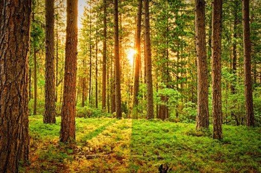 Kaip teisingai atsodinti mišką?