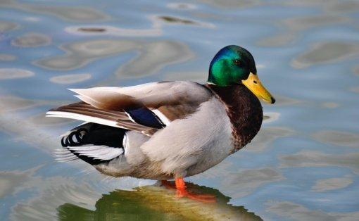 Rudeninė paukščių migracija primena apie vėl artėjantį apie paukščių gripo pavojų