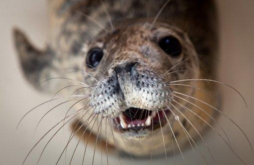 Dvylika ruoniukų iš Jūrų muziejaus sugrįš į gimtuosius namus – Baltiją