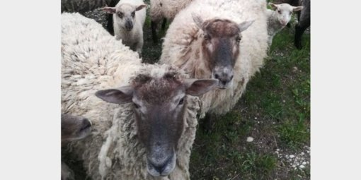 Ažytėnų kapines nusiaubė avys