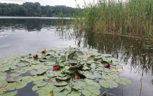 Natūraliuose vandens telkiniuose aplinkai puošti draudžiama auginti svetimžemes lelijas