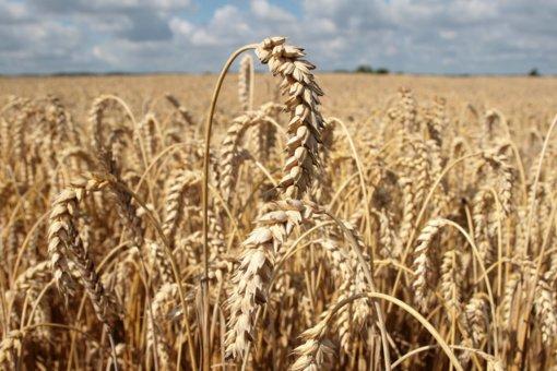 Liepą sumažėjo ekologiškų grūdų supirkimas iš Lietuvos augintojų