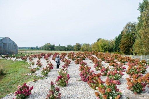 Į hortenzijų parką Panevėžio rajone plūsta lankytojai