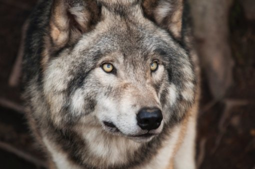 """""""Baltijos vilkas"""": patvirtindama šių metų limitą ministerija vilką laiko kenkėju, o ne saugoma rūšimi"""