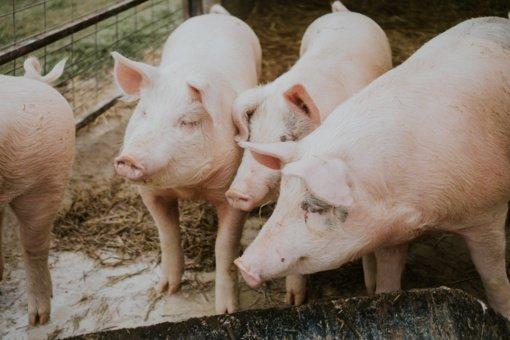 Afrikinis kiaulių maras Lietuvoje šiais metais sulėtino tempą