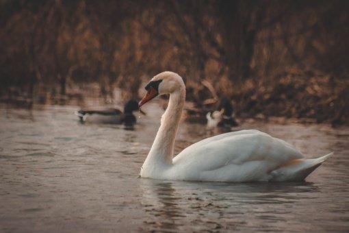VMVT įspėja paukščių laikytojus: Olandijoje nustatytas didelio patogeniškumo paukščių gripo atvejis