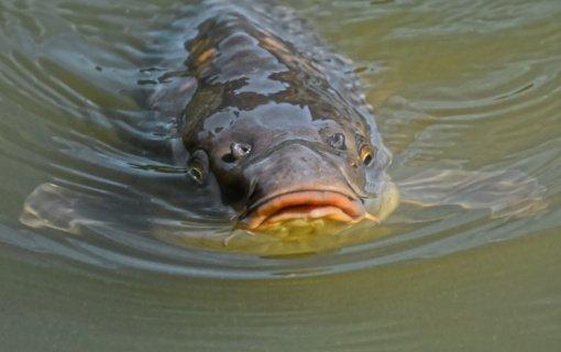 Biržų rajone organizuojama intensyviai veisiamų žuvų limituota žvejyba