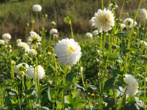 Gėlininkė Aliona Ušanoviene pataria: kaip tinkamai paruošti žiemai jurginus
