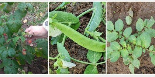 Lapkričio išdaigos: žaliuoja bulvės, žydi žirniai, noksta avietės