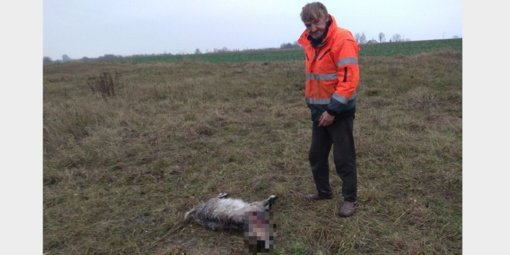 Kėdainių rajone vilkas papjovė ožiuką ir ožkytę