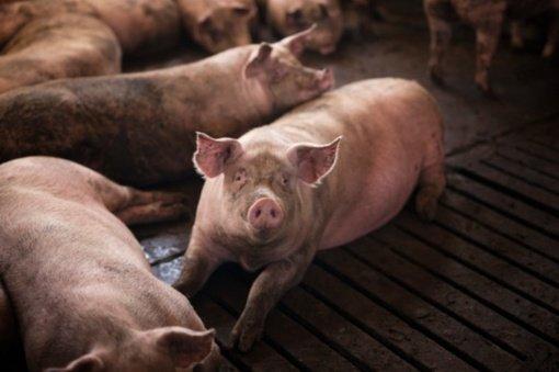 93 tūkst. eurų už parduotas kiaules pasiėmusiai brigadininkei skirtas laisvės apribojimas