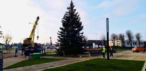 Raseiniuose prasidėjo Kalėdų eglės puošimo darbai