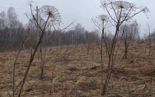 Savivaldybėms skirta daugiau kaip pusė milijono eurų Sosnovskio barščiui naikinti