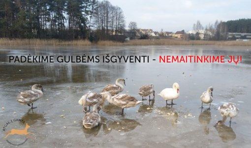 Prašo nemaitinti vandens paukščių: gulbės įšala, nes pripranta gauti maisto iš žmonių