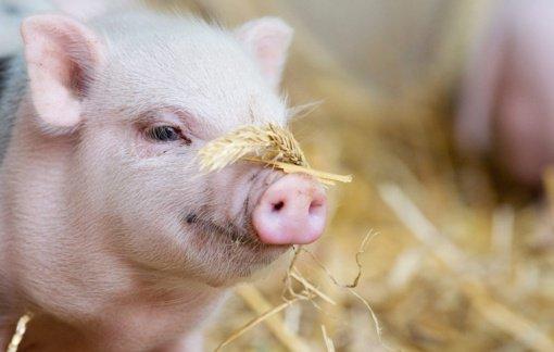 Ūkio savininkas neleistinai atsikratė paršelių gaišenomis